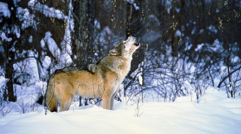 This bill would put 90% of Idaho's gray wolves at risk of being killed